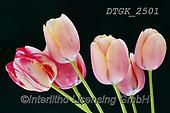 Gisela, FLOWERS, BLUMEN, FLORES, photos+++++,DTGK2501,#f#, EVERYDAY