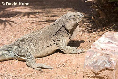 0628-1103  Anegada Ground Iguana (Stout Iguana), Cyclura pinguis  © David Kuhn/Dwight Kuhn Photography