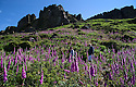 03/07/15<br /> <br /> David and Melanie Yates hike through the foxgloves.<br /> <br /> Rain and hot sunshine have helped tens of thousands of Foxgloves burst into bloom turning the moorland purple beneath Hen Cloud in an area of the Staffordshire Peak District known as The Roaches. Many of the flowers, also known as digitalis, are more than four ft tall. <br /> <br /> All Rights Reserved: F Stop Press Ltd. +44(0)1335 418629   www.fstoppress.com.