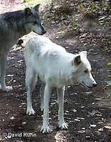 0823-1011  Pair of Wolves, Gray Wolf (Grey Wolf) with White Colored Coat, Canis lupus  © David Kuhn/Dwight Kuhn Photography