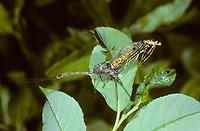 Große Eintagsfliege, Häutung, Imaginalhäutung, Dänische Eintagsfliege, Maifliege, Ephemera danica, mayfly, green drake
