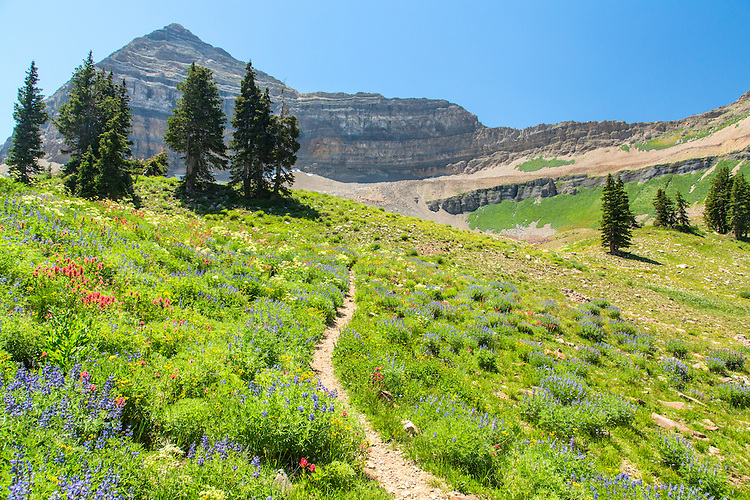 Summer wild flowers in the Mount timpanogos wilderness.