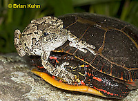1R24-9088  Eastern Gray Treefrog - with painted turtle - Hyla chrysoscelis or Hyla versicolor,  © Brian Kuhn/Dwight Kuhn Photography
