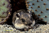 MU31-029z  Silky Pocket Mouse among desert cactus habitat - Perognathus flavus