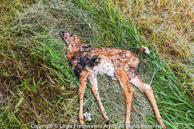 Dead white-tailed fawn - cause of death unknown.
