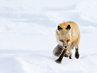 The foxes in Yellowstone often have to negotiate harsh elements, including high winds on the valley floors.