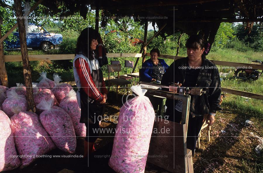 BULGARIA Kazanlak, women harvest in the morning damascena rose blossom in the rose valley , the rose blossom are distilled for essential oil and rose water which is used for cosmetics and perfume / BULGARIEN Kazanlak, Frauen ernten Blueten der Damscena Rose , aus den Rosenblaettern wired Rosenwasser und Rosenoel destilliert, der als Grundstoff fuer Kosmetika und Parfuem verwendet wird - <br /> MORE PICTURES AVAILABLE!