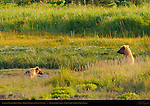 Alaskan Coastal Brown Bear, Golden Female and Cub, Silver Salmon Creek, Lake Clark National Park, Alaska