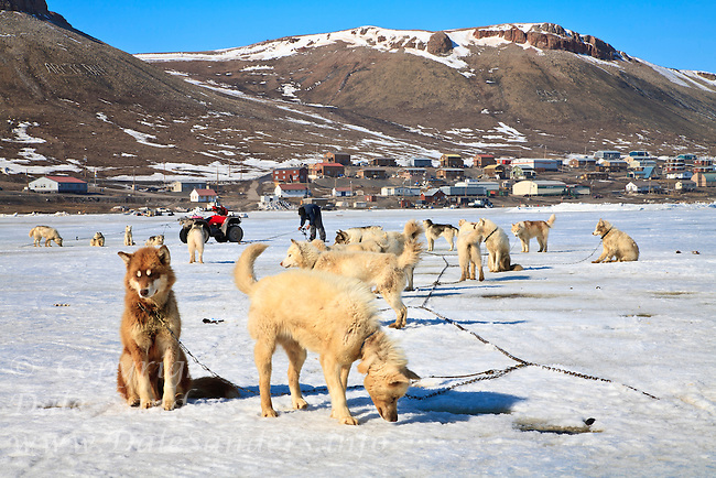 Sled dogs are staked out on the ice in front of the community of Arctic Bay near the north end of Baffin Island in Nunuvut,  Canada.  This is the middle of May and it will still be several months before the ice will leave the inlet, so snowmobiles and komatik sleds are still the main source of transportation around the high arctic.