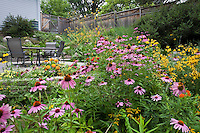 Purple coneflower, (Echinacea) in flowering backyard meadow planting with no lawn; Haigh-Canon Garden