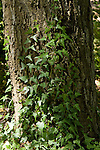 HEDERA HELIX, ENGLISH IVY, ON TREE TRUNK