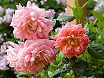 Christopher Marlow Rose, rosa hybrid by David Austin