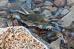 Blue crab submerged in shallow water hiding behind rock at low tide.