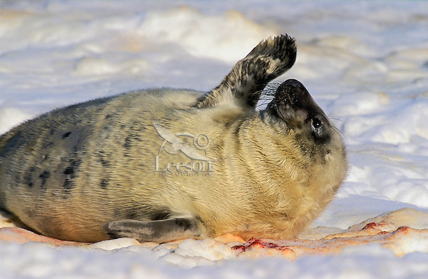 GRAY SEAL - newborn pup. Pups are fed and protected by the cows for the first two weeks before they are left to fend for themselves on the birthing ice floes or secluded beaches..Northumberland Strait, Nova Scotia. Canada..(Halichoerus grypus).