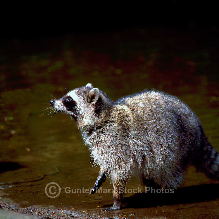 Wild Raccoon (Procyon lotor) wading in Water