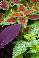Solenostemon (Coleus) (from left clockwise) 'Red Rosie' + 'Red Dwarf' + 'Dairy Maid', Three kinds of coleus together, annual foliage plants combination colors