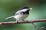 Black-capped Chickadee, holding a moth in its beak to feed nearby nestlings.  Poecile atricapilla, a songbird widely spread throughout the U.S. and western Canada to Alaksa, the Chickadee is a gregarious and entertaining bird that adapts readily to human presence but is shy when found in the mountains.
