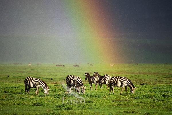 3MB395  Burchell's Zebra or Plains Zebra grazing during rainstorm in Ngorongoro Crater,  Tanzania.