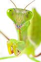 Australian Giant Rainforest Mantis {Hierodula majuscula} subadult. Photographed on a white background. Captive, orginating from Australia. website