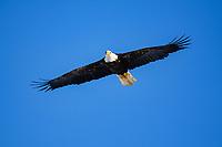 bald eagle (Haliaeetus leucocephalus) in flight, Canada
