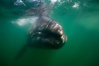 Mexico, Baja Califonia Sur, Laguna San Ignacio, gray whale (Eschrichtius robustus) calf underwater in the lagoon which is a sanctuary for the gray whale and a World Biosphere Preserve