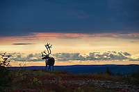 Alpen glow illuminated the alaska sky as this bull caribou crested the ridge looking back for his fellow traveling companion.