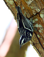 Adult male black-and-white warbler