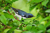 Black-throated Blue Warbler (Dendroica caerulescens) male rests in mixed forest along Lake Erie shoreline near Canada and USA border during annual spring migration from Caribbean wintering grounds to summer breeding grounds in northeastern USA and southeastern Canada.