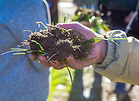 Soil, with grass roots clump - Richard King, California Native Grasslands pasture walk on rangeland management of grasses