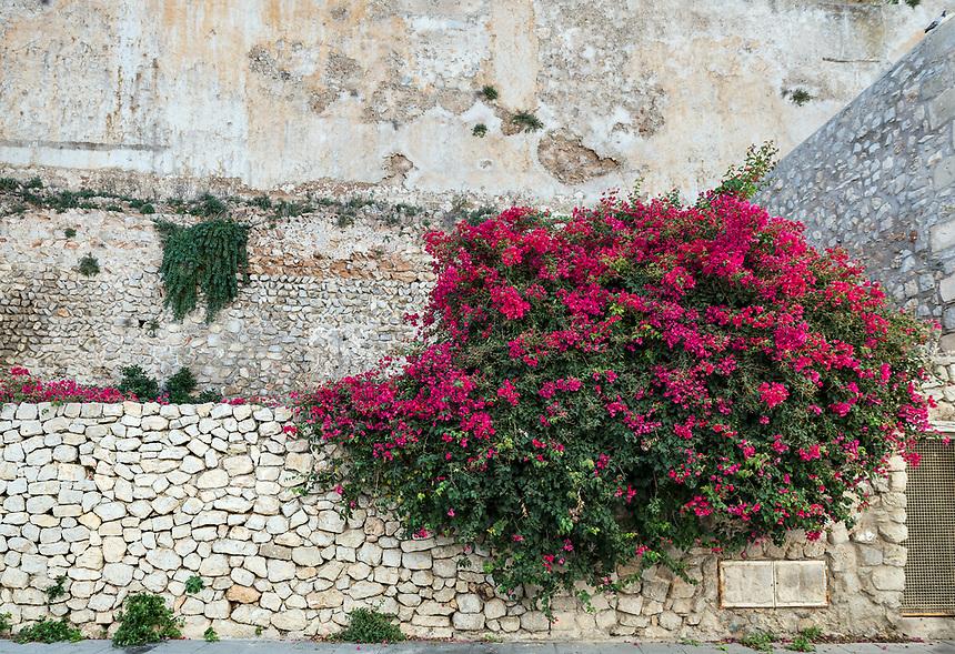 Bougainvillea flowers, Ibiza Town, Dalt Vila,  Balearic Islands, Spain, Europe,