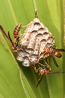Paper Wasps (Polistes bahamensis) guard larvae and pupae in the chambers of their nest hanging from a Saw Palmetto frond.