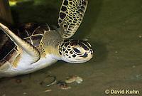 0606-0906  Atlantic Green Sea Turtle Swimming Underwater, Chelonia mydas  © David Kuhn/Dwight Kuhn Photography
