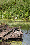 Damon, Texas; a juvenile American alligator sunning itself on a submerged tree trunk in the middle of the slough, with its mouth open