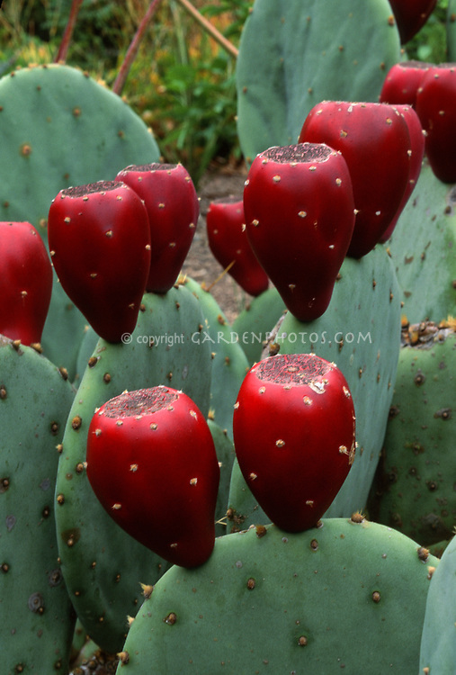 Opuntia fruit, prickly pear cactus. Believe this is Opuntia aciculate, Texas prickly pear. Cactus, cacti