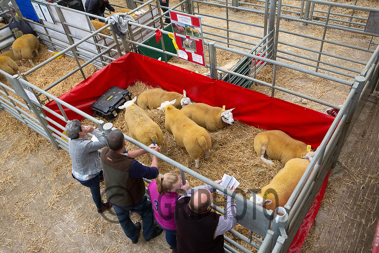 Texel Welsh National Show & Sale, Welshpool<br /> ©Tim Scrivener Photographer 07850 303986<br />      ....Covering Agriculture In The UK....
