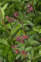 Sumpf-Blutauge, Sumpfblutauge, Blutauge, Sumpf-Fingerkraut, Potentilla palustris, Comarum palustre, Marsh Cinquefoil, Purple Marshlocks, Swamp Cinquefoil