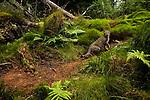 Scottish Wildcat (Felis silvestris grampia) and Domestic Cat (Felis catus) hybrid male in coniferous forest, Glen Isla, Scotland, United Kingdom