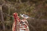 Canada Jay feeding on a deer carcass.