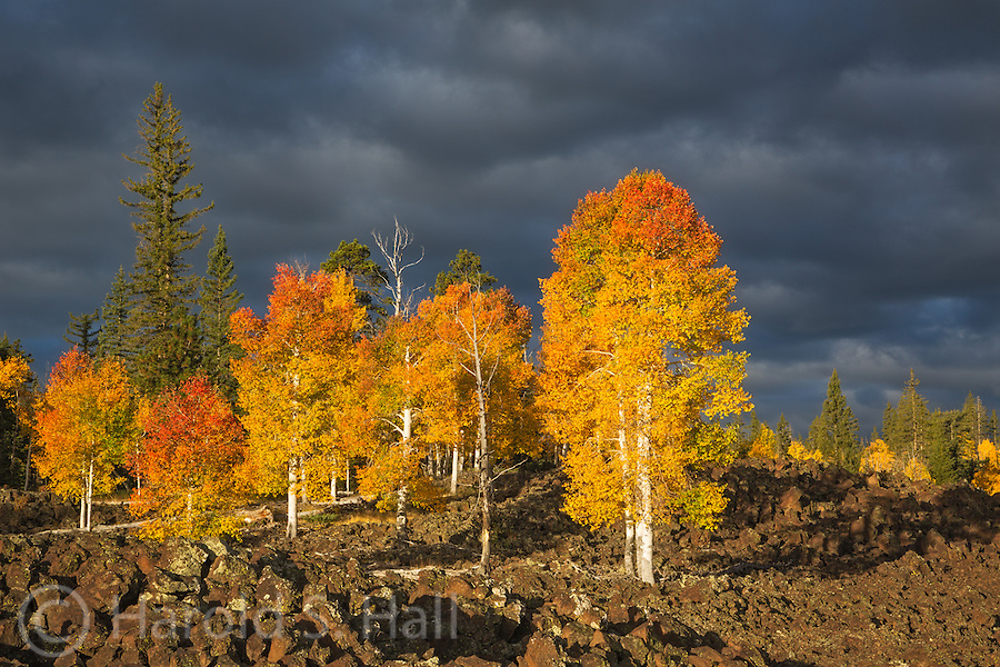 Near Cedar Breaks National Monument outside of Duck Creek in Southern Utah, it has always struck me as odd or improbable how the aspen trees manage to grow up to the very edge of an ancient lava field.  The brilliant yellow of the aspens is in stark contrast to the black lava rocks.