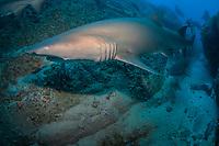 grey nurse shark or sand tiger shark, Carcharias taurus, Fish Rock, South West Rocks, New South Wales, Australia, South Pacific Ocean