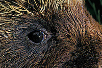 PORCUPINE..Autumn. Rocky Mountains..(Erethizon dorsatum).
