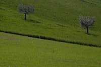 Alberi di ulivo. Olive Trees...