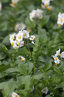 21.7.2020  Potatoes flowering in the Lincolnshire Fens <br />  ©Tim Scrivener Photographer 07850 303986<br />      ....Covering Agriculture In The UK.