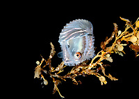 paper nautilus, or argonaut, Argonauta sp., female with eggcase, hiding in sargassum during a blackwater drift dive, Palm Beach, Florida, USA, Atlantic Ocean