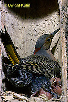 FK12-007z   Common Flicker - female sitting on young to keep warm in nest cavity of dead tree - Colaptes auratus
