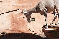 A bighorn sheep is perhed on the edge of a cliff at Zion National Park,Utah.