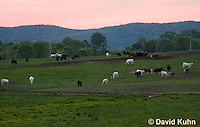 0511-0901  Cows (Cattle) Grazing in Pasture in Blue Ridge Mountains in Virginia  © David Kuhn/Dwight Kuhn Photography