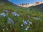 San Juan Mountains, CO<br /> American Basin featuring Colorado columbine (Aquilegia coerulea), sneezeweed (Dugaldia hoopesii) and paintbrush (Castilleja sp)  in alpine wildflower meadows beneath Handies Peak at sunrise