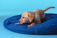 Labrador Retreiver puppy.