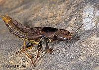 "0723-07xx  Rove Beetle ""Carrion beetle"" - Platydracus maculosus © David Kuhn/Dwight Kuhn Photography"